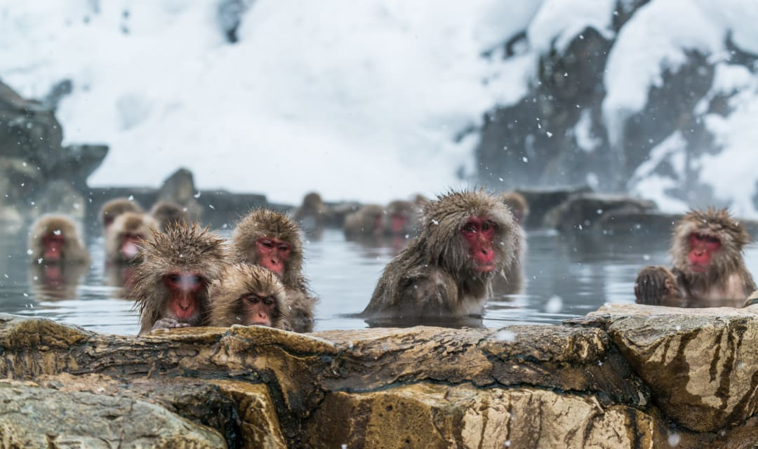 monkeys sitting in an onsen on a snowy day