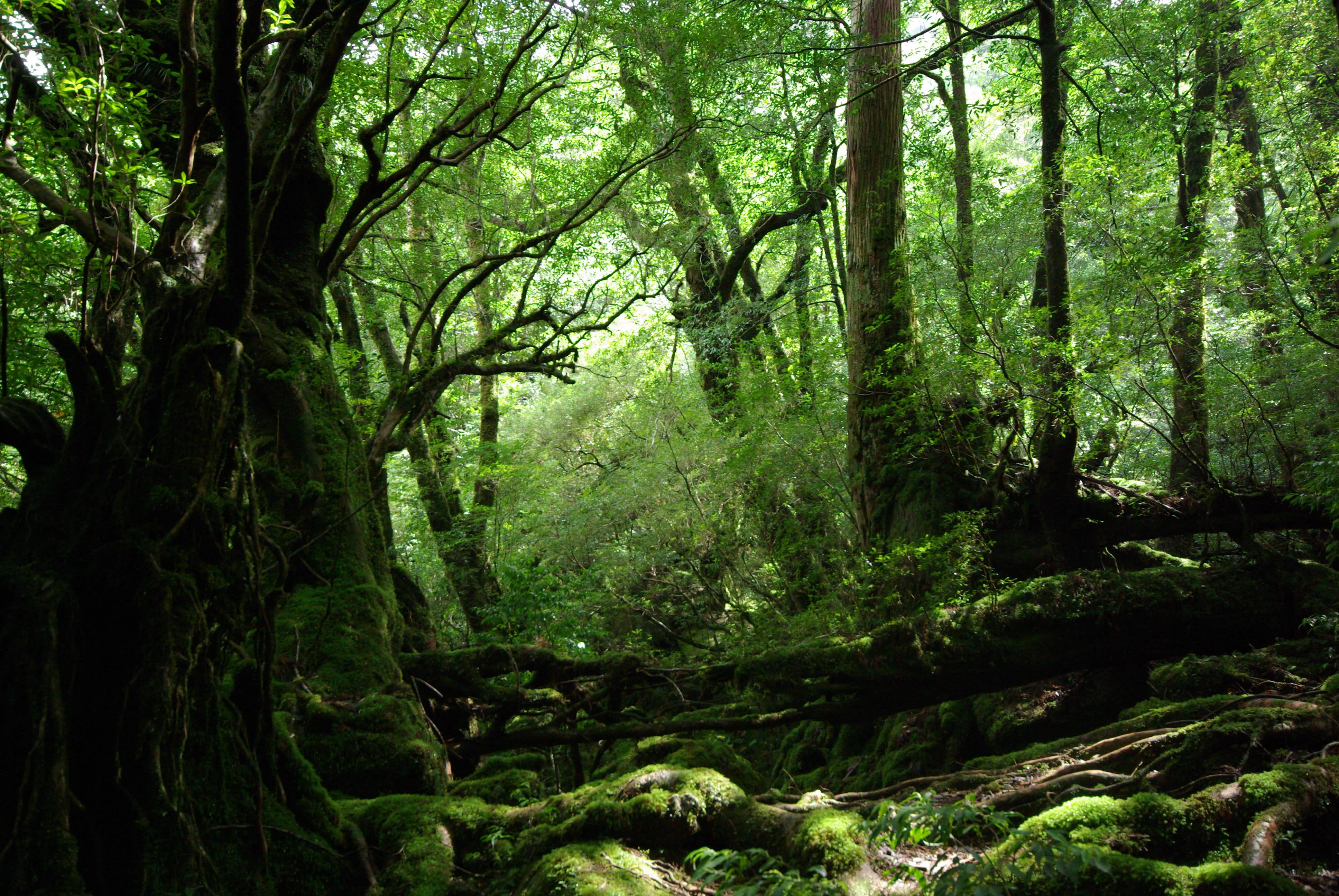 Shiratani Unsenkyo - der Ghibli Mononoke Wald auf Yakushima