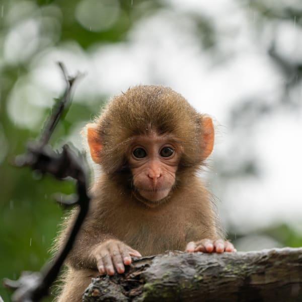 Macaco giapponese ad Arashiyama