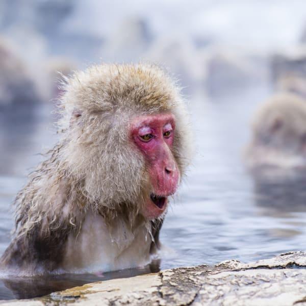 Scimmia allo Snow Monkey Park di Nagano