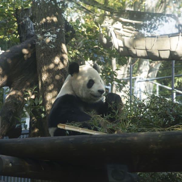Panda gigante allo zoo di Ueno, Tokyo