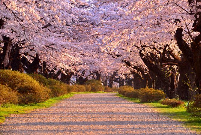 Kitakami Tenshochi Sakura Festival