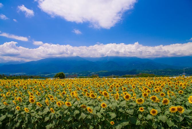 Heidi's Village & Sunflower bloom