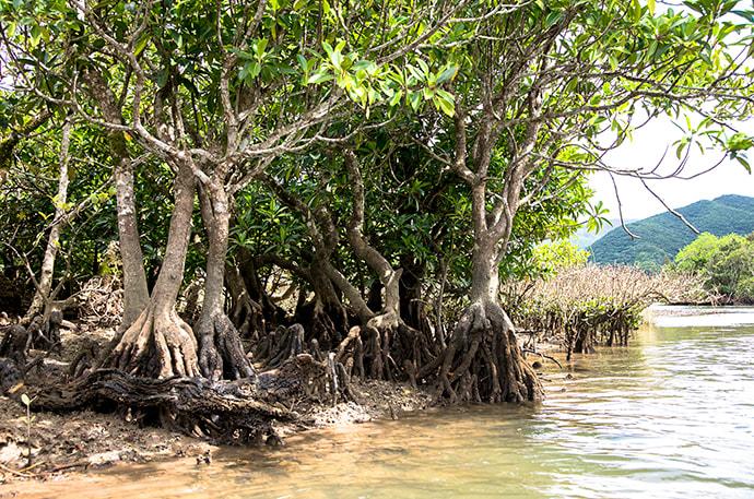 "The ""knee roots"" of ohirugi mangrove trees"