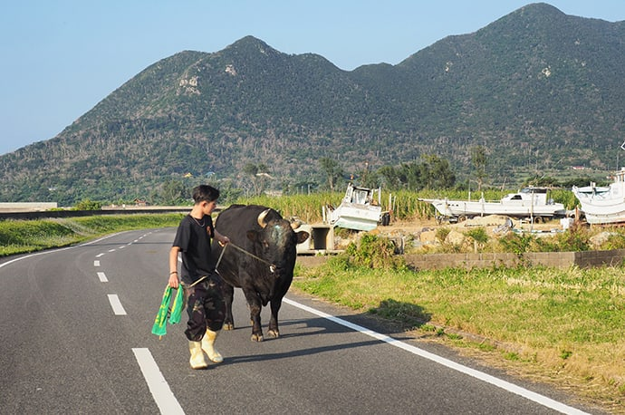 Bullfighting has been a part of Tokunoshima culture for centuries