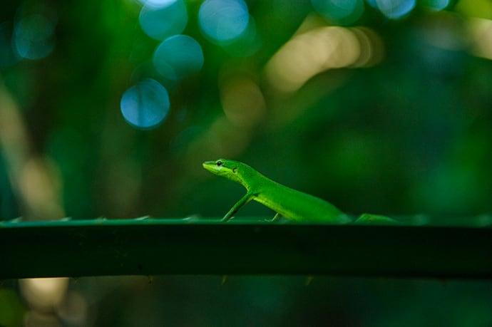 The endangered Sakishima grass lizard is native to the Yaeyama Islands