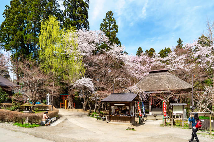 Structures at Chusonji Temple, surrounded by cherry blossoms.