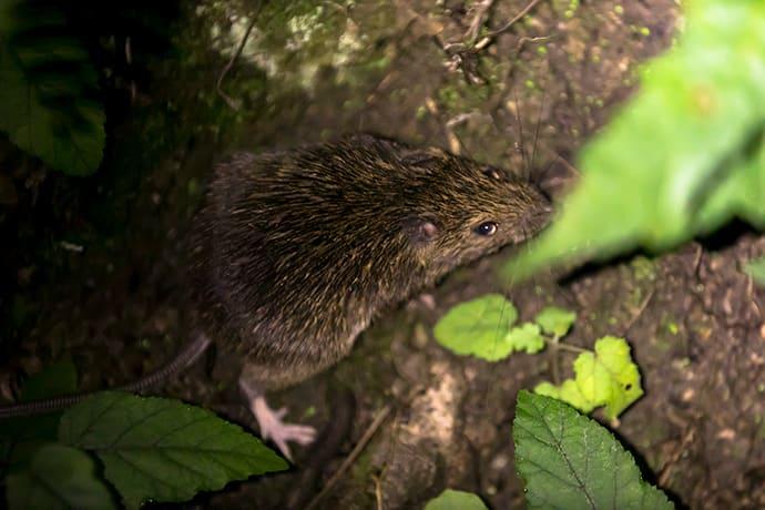 The Amami spiny rat