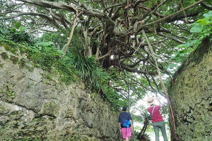 A Chinese banyan grows atop a stone wall
