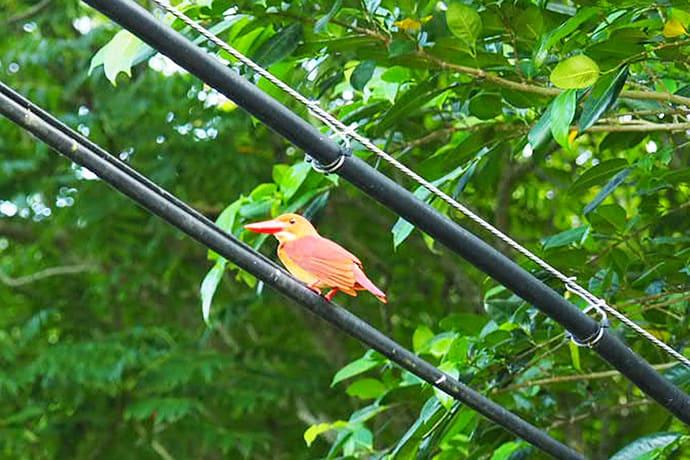 The ruddy kingfisher
