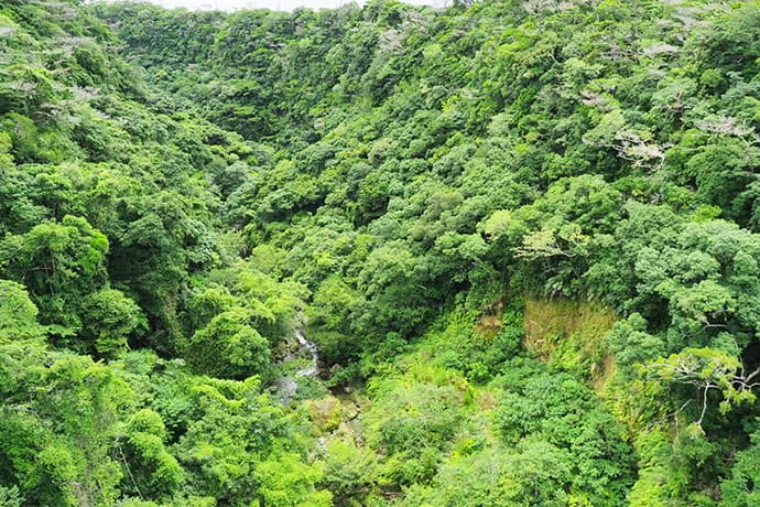 Laurel forests cover Shikaura Gorge