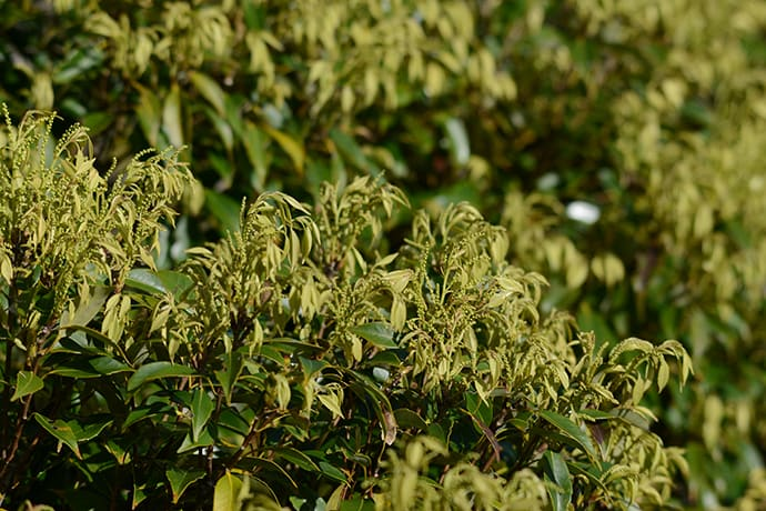 A budding Itajii evergreen tree