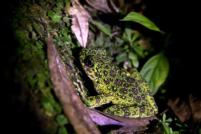 The Amami Ishikawa's frog