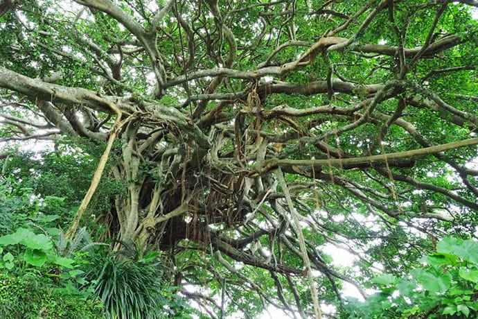 Chinese banyan trees