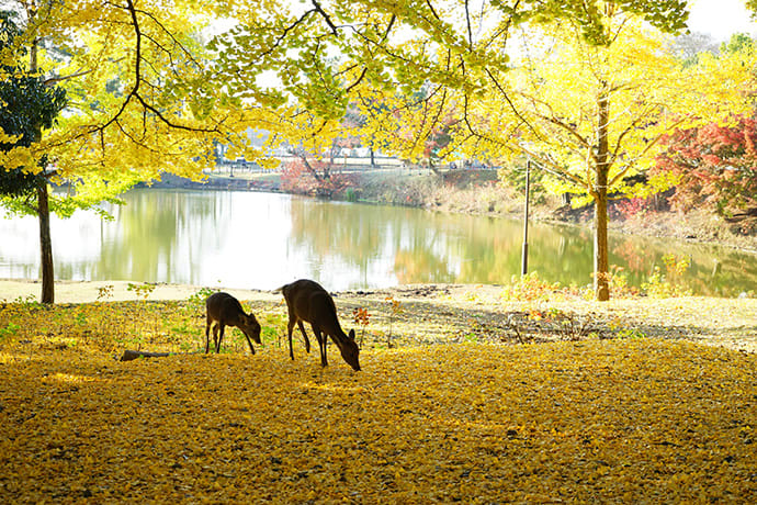 Deer among the autumn leaves in Nara Park.