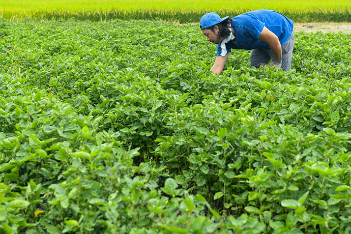 Kenta tends to a field of Japanese indigo plants