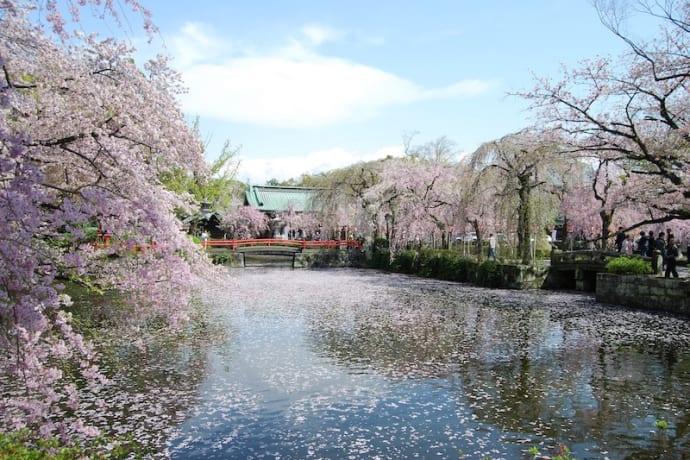 Cherry blossom at Mishima Taisha shrine