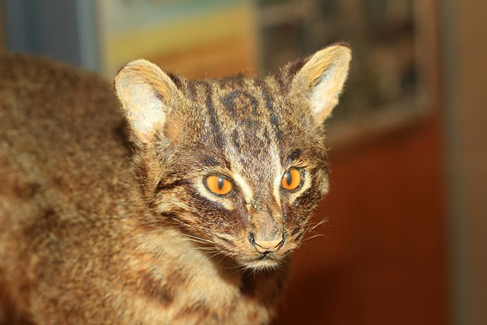 The Iriomote cat is listed as critically endangered on the IUCN Red List