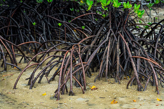 The thin, branch-like roots of the Yaeyama hirugi mangrove work to filter out the salt from the brackish water