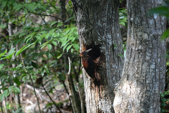 The Okinawa woodpecker is a critically endangered species—it is estimated that only around 90 individuals remain