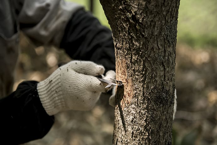 The process of scoring the trees produces more sap.