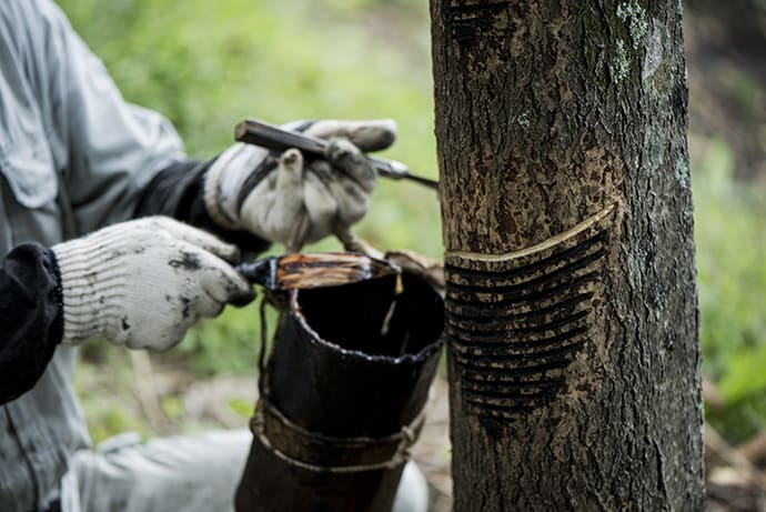 A lacquer tapper carefully selects a tree and makes a series of cuts to tap the sap.