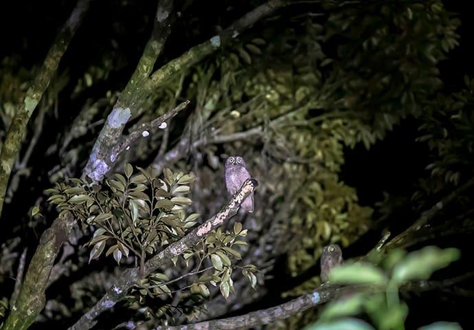 The Ryukyu scops-owl
