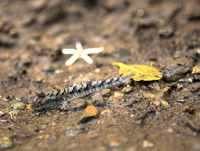 The amphibious barred mudskipper