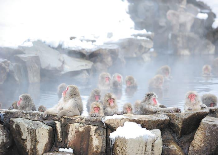 See the Bathing Snow Monkeys