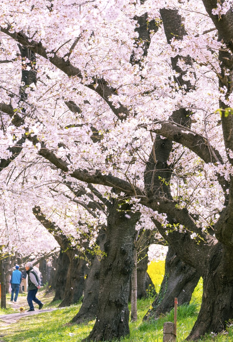 Cherry Blossom Forecast 2021