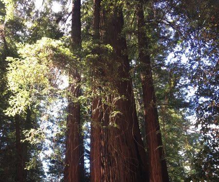 redwoods at 1440multiversity