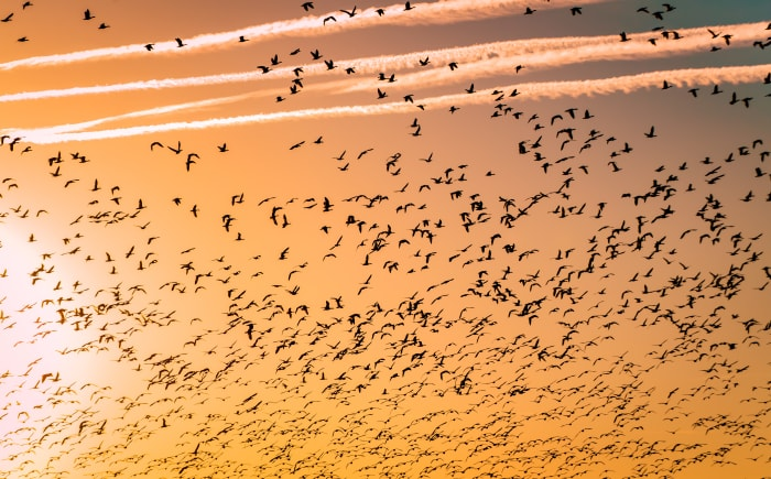 flock of birds migrating during sunset