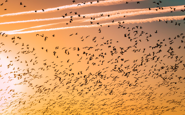 flock of birds migrating during sunset