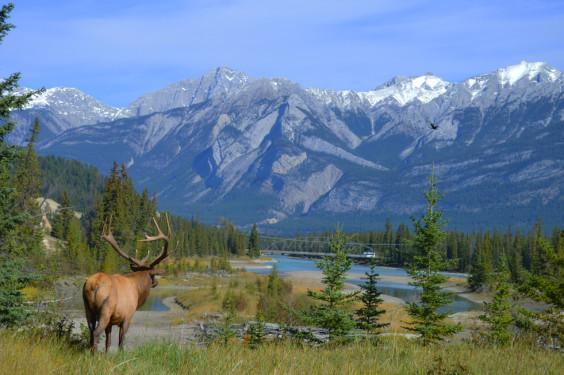 elk with mountain landscape