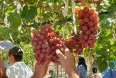Namibia grape