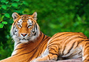 tiger_new-310x215
