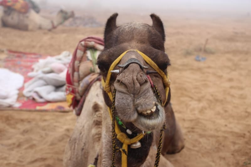 Pushkar - A Camel Safari In The Heart of Rajasthan India