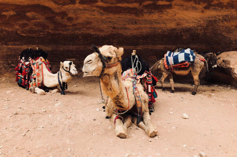 Camels and donkeys relaxing at The Treasury in Petra