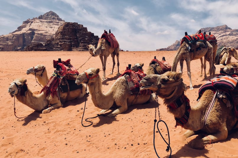 Camels laying on the red sand of Wadi Rum in Jordan