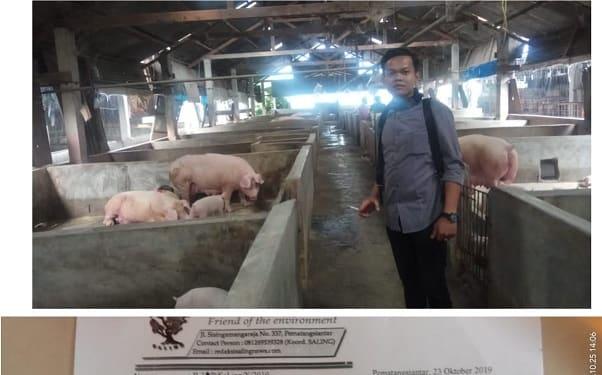 Sekretaris Saling Dedy Wibowo Damanik menunjukkan ternak babi di Simolangi dan surat laporan pengaduan