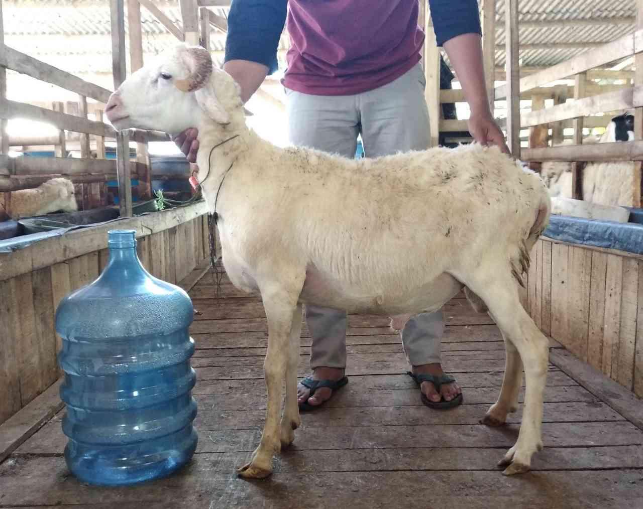 Jual Domba Qurban di Depok bobot 21-25 kg