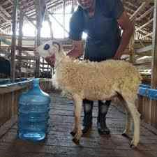 Domba Priangan Tanduk bobot 26 - 30 Kg