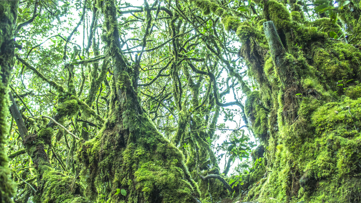 Mossy Forest @ Cameron Highlands Bersama Tripfez