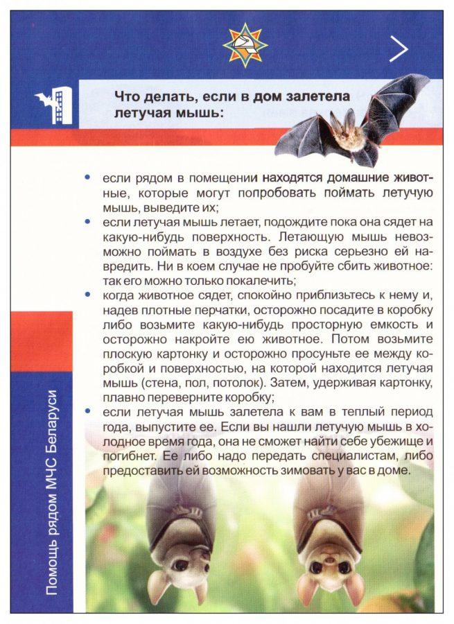 letuchuyu-mysh-v-kvartire-bobruichanki-lovili-sotrudniki-mchs