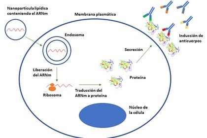 ARNm en la célula