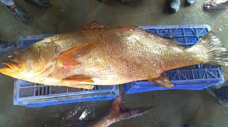 fish_web_gcjbaj দীঘার সুমদ্রে ধরা পড়ল ৪০ কেজির ভোলা, কত টাকায় নিলাম হল জানেন?