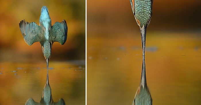After 6 Years And 720 000 Attempts Photographer Finally Takes Perfect Shot Of Kingfisher Bored Panda