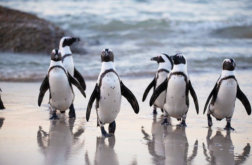 科見Online線上學習-新聞英語課程-紐西蘭警方「拘留」2隻小藍企鵝