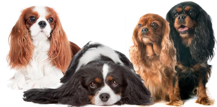 Boston Terrier Scottie Owners Lovers  Dog Walkers Spaniels American Gentleman