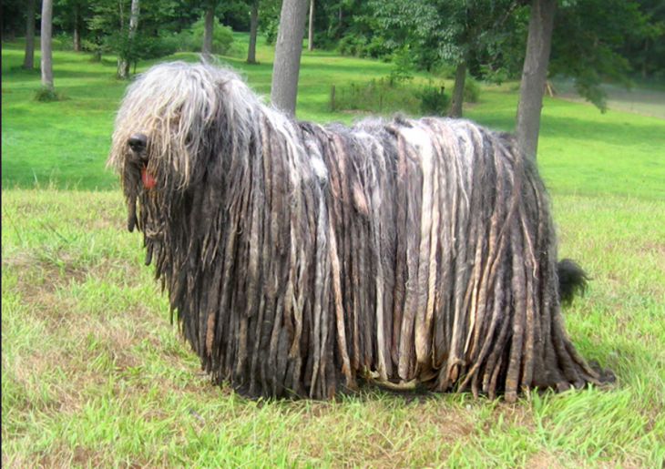 rare dog breeds BERGAMASCO SHEEPDOG